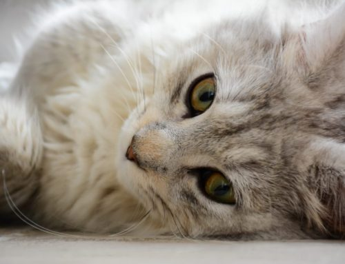 Can the new coronavirus affect my pet?