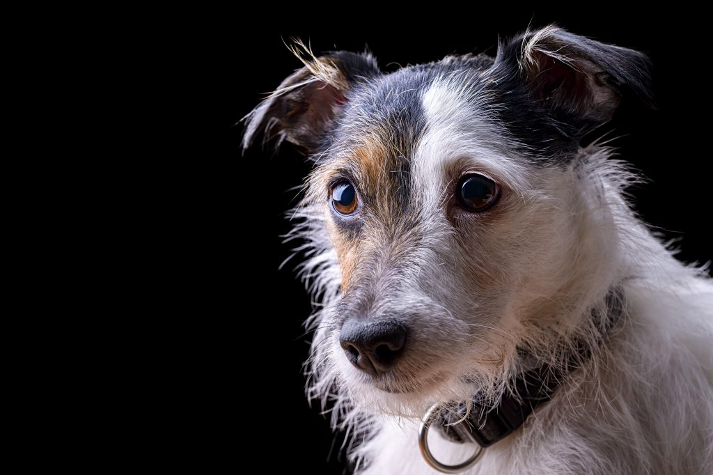 portrait of female jack russell terrier on black background