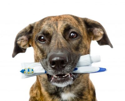 Dog with a toothbrush on a white background