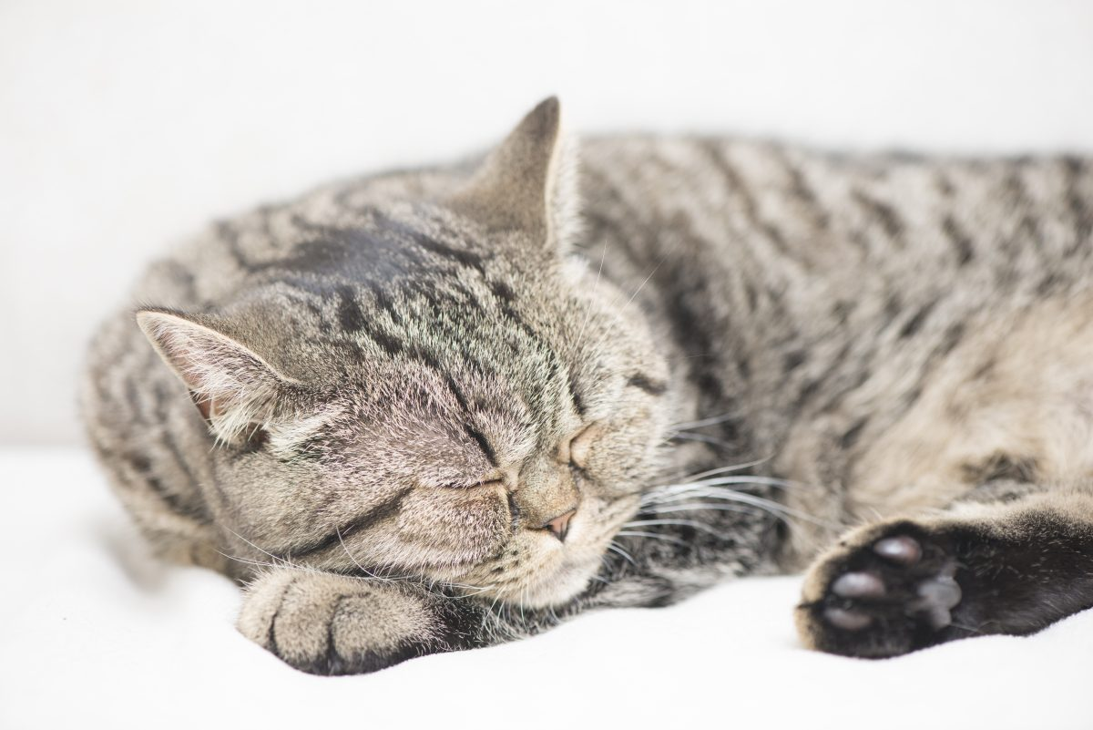 Tired tabby cat lying down and resting at home. Sleeping pet taking a nap.