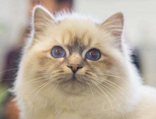 Feline Oral Resorptive Lesions