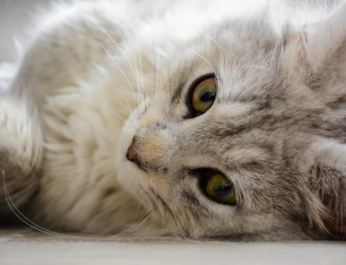 Feline Leukemia and the risk to your cat