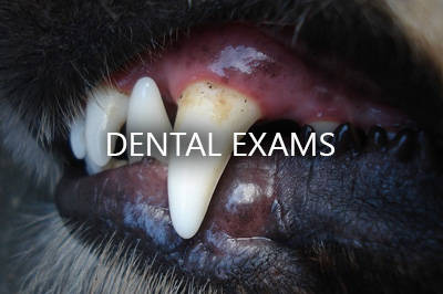 dog dental_exams