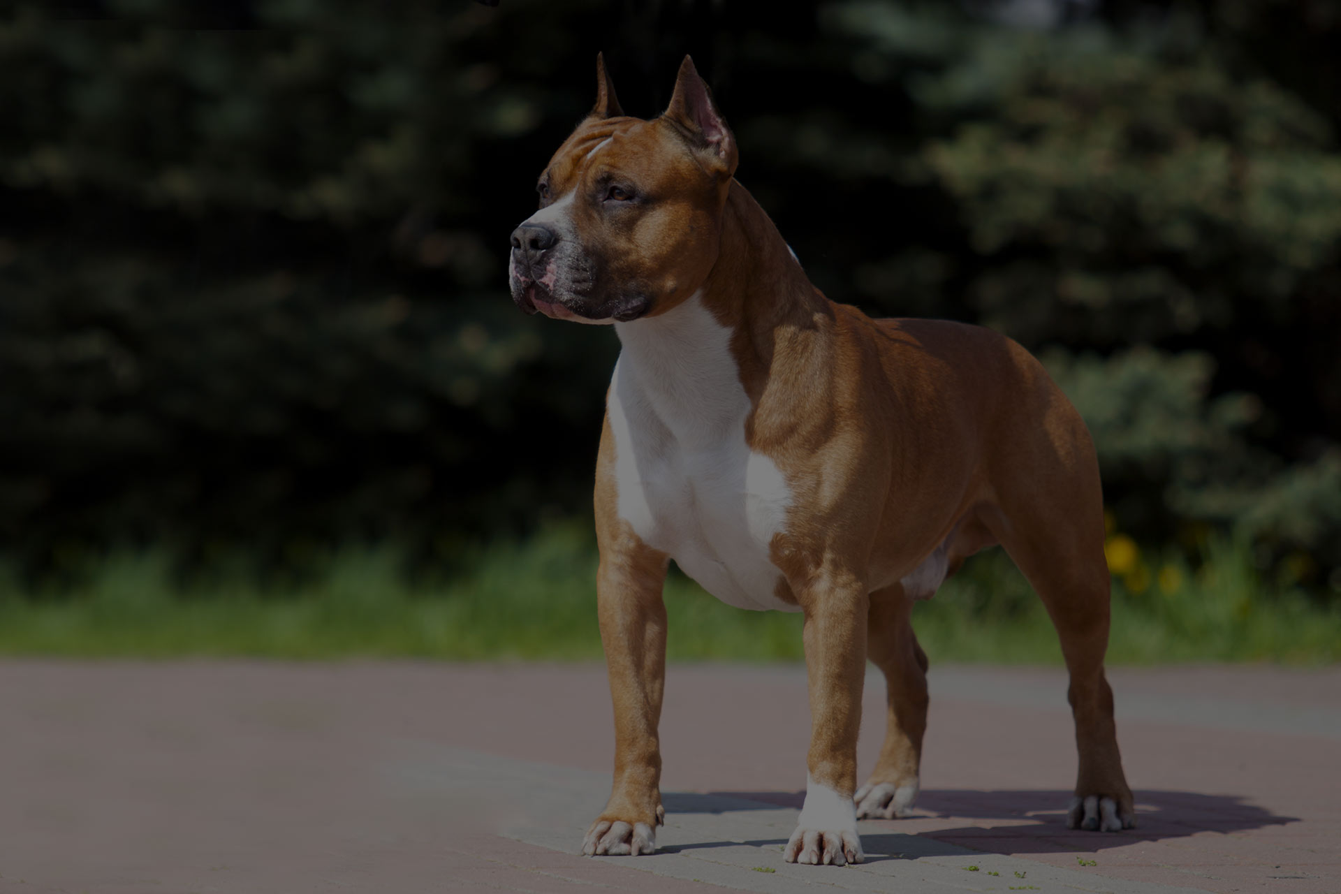 American Staffordshire Terrier outdoor portrait