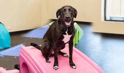 labrador retriever sitting in training room