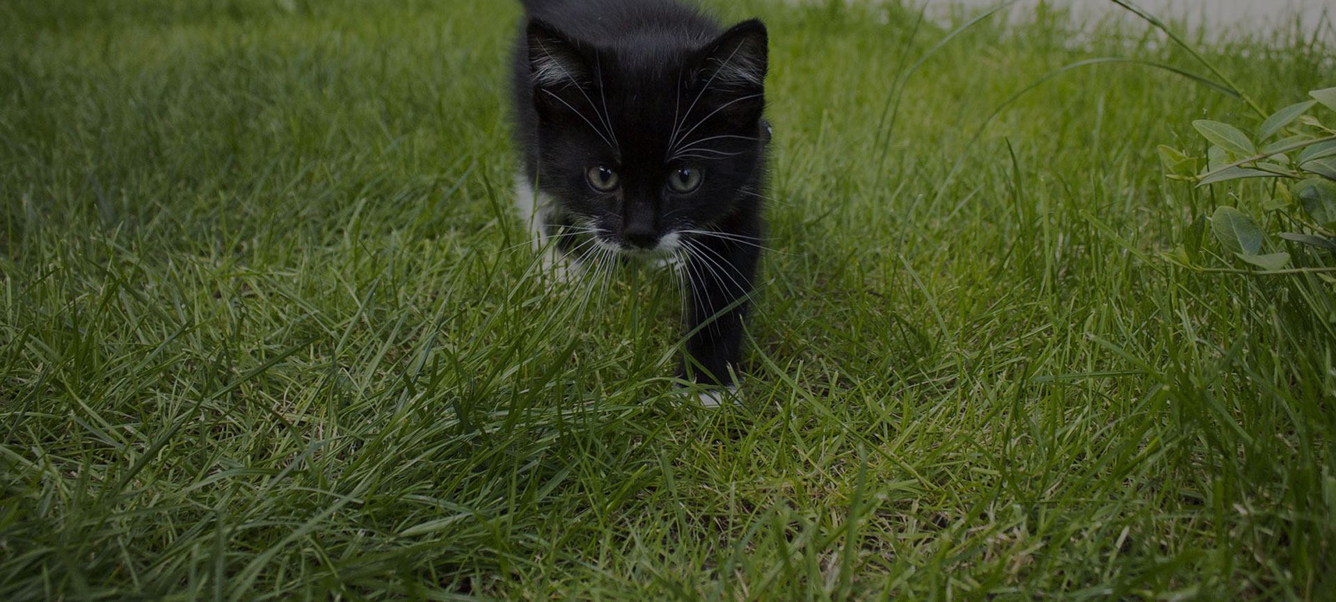 beautiful black and white cat in a garden on the green grass in the spring