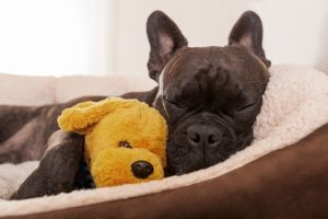 Dog falls asleep in the arms of a stuffed toy