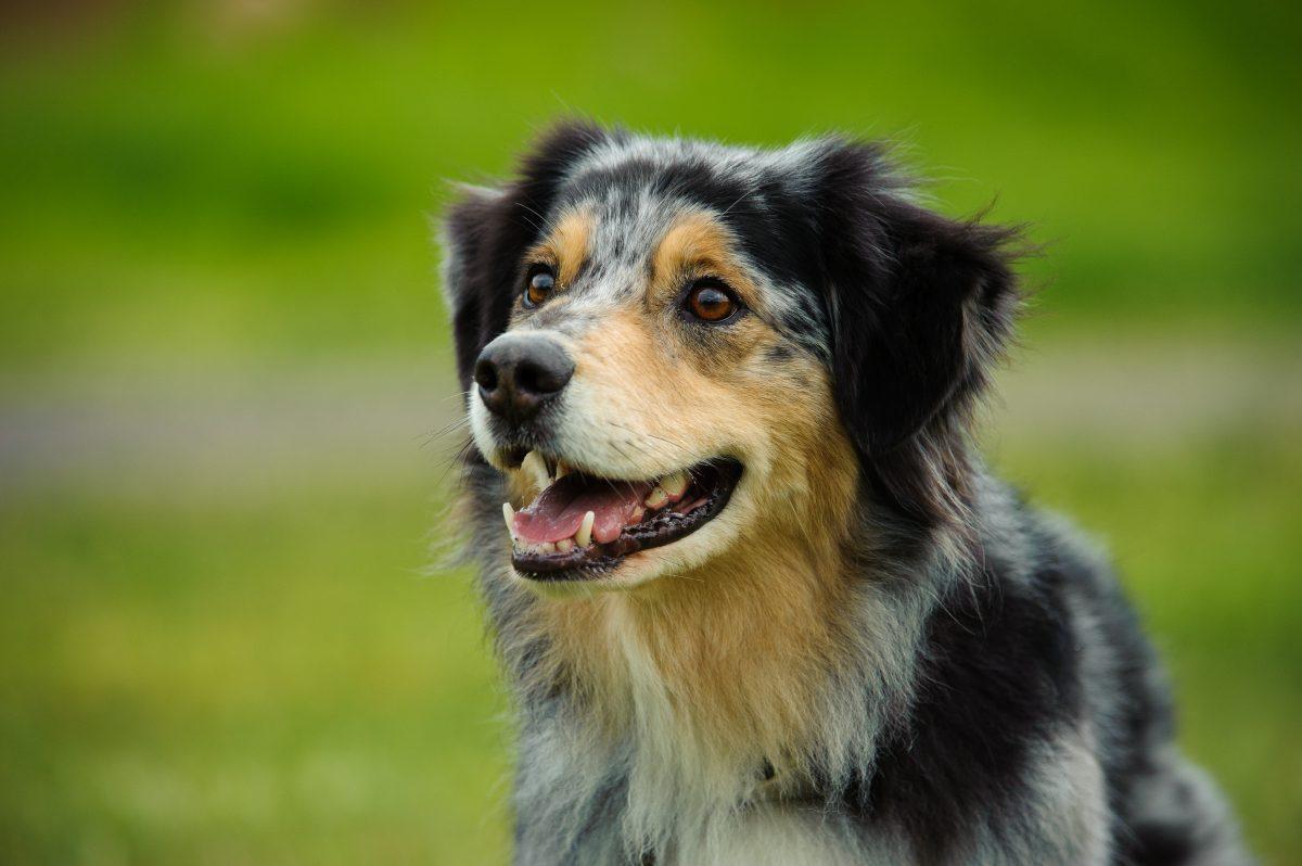 Australian Shepherd dog portrait in field