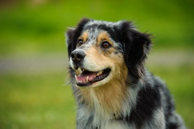 Australian Shepherd dog portrait in field