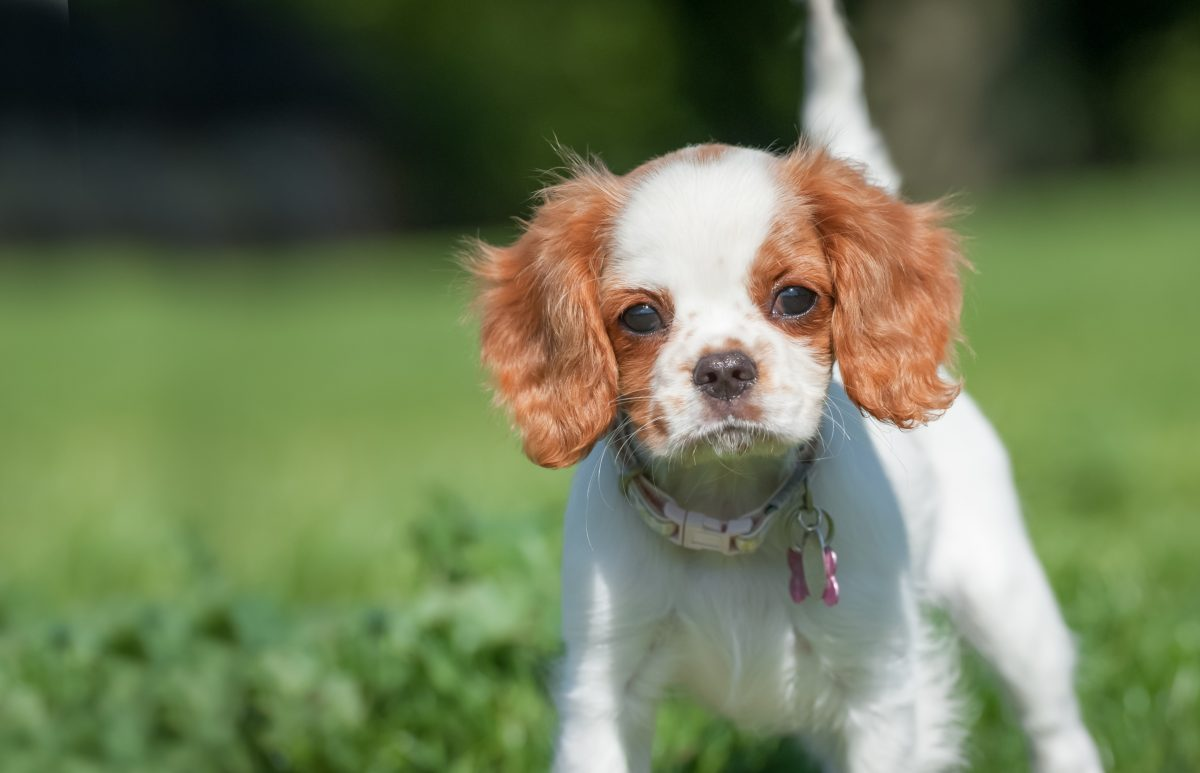 closeup of a playful spaniel puppy face