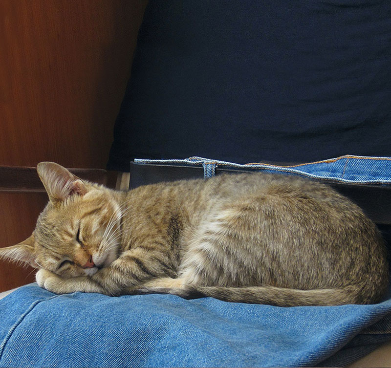 Blue Jeans Domestic Cat Young Animal Kitty Sleep