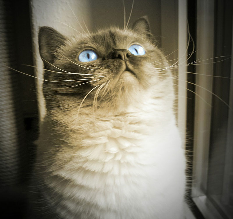 cat-blue-eye-dreamy-mieze