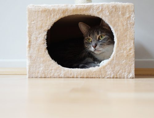 Environmental Enrichment for Cats