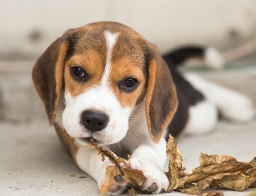 Introducing a new puppy into your home